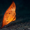 Juvenile Circular Spadefish