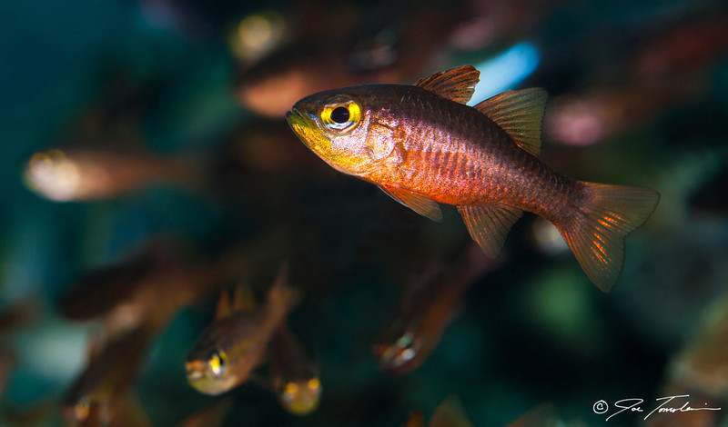 Cardinalfish school