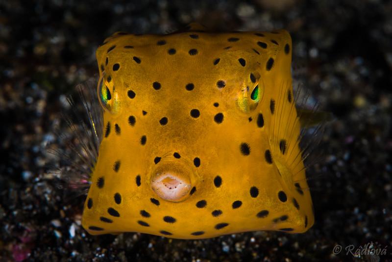 Juvenile Yellow Boxfish <i>(Ostracion cubicus)<i></i></i>