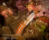 Bath's Blenny, orangestripe variation