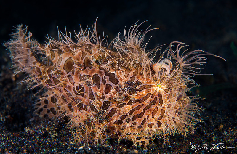 Striated (Hairy) Frogfish
