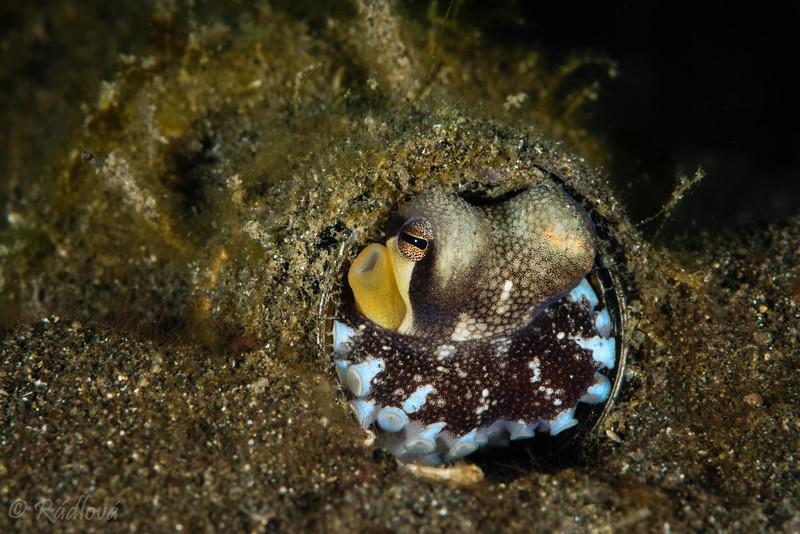 Coconut Octopus <i>(Amphioctopus marginatus)<i></i></i> in a bottle!
