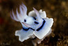 Dorid Nudibranch <i>(Chromodoris sp.)<i/>