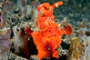 Painted Frogfish <I>(Antennarius pictus)<I/>