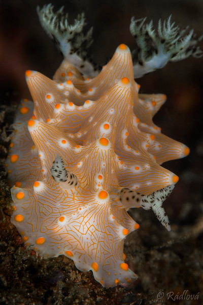 Batangas Halgera Nudibranch <i>(Halgerda batangas)<i></i></i>