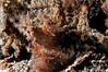 Octopus <I>(Octopus cyanea?)<I/>