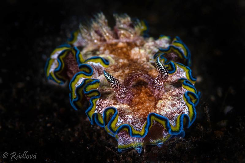 Dorid Nudibranch -Undescribed <i>(Glossodoris sp.2)<i></i></i>
