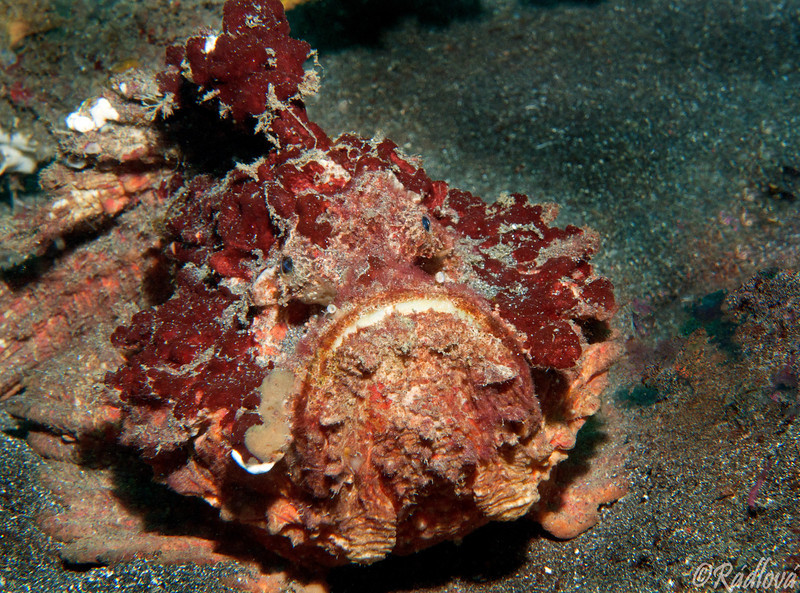 Reef Stonefish <I>(Synanceia verrucosa)<I/>