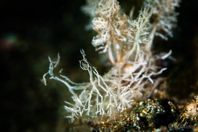 Coleman's Melibe Nudibranch <i>(Melibe colemani)<i></i></i>