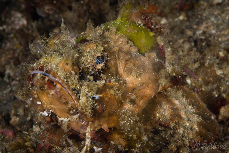 Painted Scorpionfish <i>(Parascorpaena picta)<i></i></i>