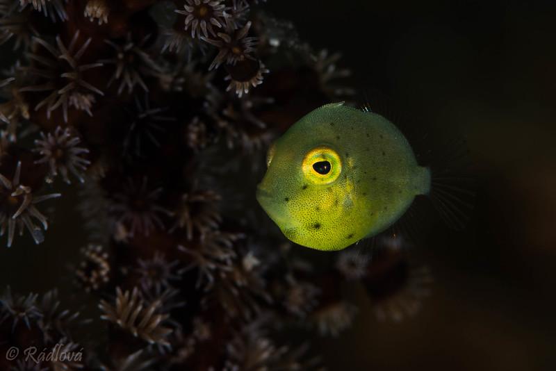 Juvenile Triggerfish