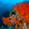 Gorgonian Sea Fans on an Indonesian Reef