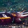 Flamboyant Cuttlefish