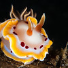Red Spot Glossodoris