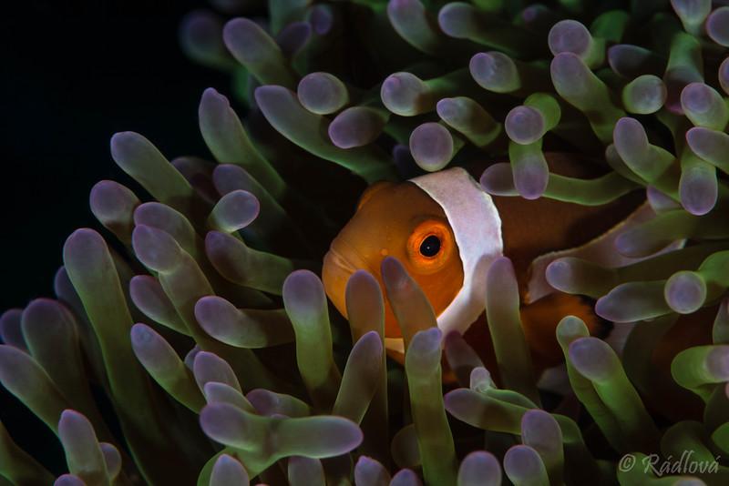 False Clown Anemonefish <i>(Amphirion ocellaris)<i></i></i>