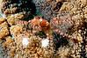 Mosaic Boxer Crab <I>(Lybia tesselata)<I/>