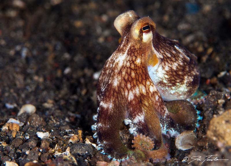 Coconut (Veined) Octopus
