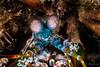 Peacock Mantis Shrimp <i>(Odontodacttylus scyllarus)<i></i></i>