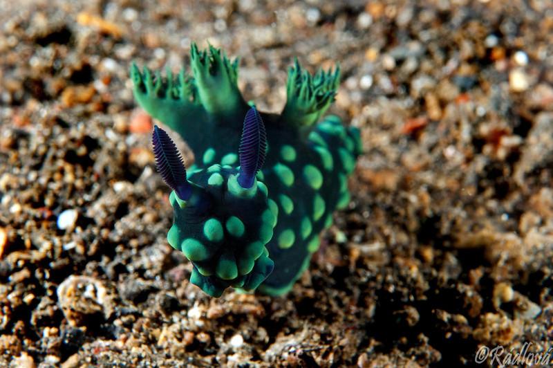 Crested Nembrotha Nudibranch <i>(Nembrotha cristata)<i/>