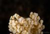 Humpback Soft Coral Shrimp <i>(Alcyonohippolyte dosenmus)<i></i></i>