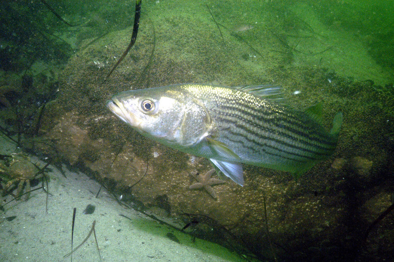 Striped Bass  <br /> Marone saxatilis<br /> <br /> The Moronidae Family of fish have a streamlined, silvery body with longitudinal stripes.  Horizontal stripes are often found in schooling fish which serve as a form of disruptive coloration; the fusion of stripes between members may confuse both predator and prey.  They may also visually assist in aligning and orienting members  of the school