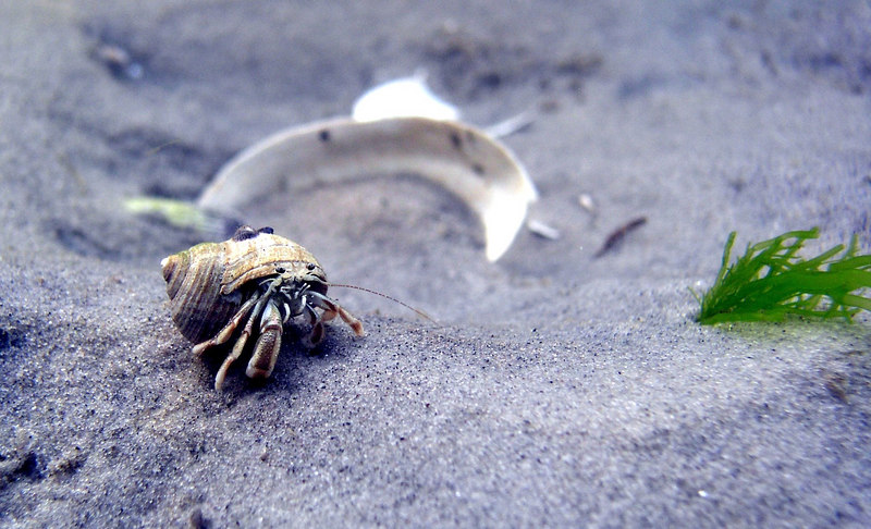 Long-Clawed Hermit Crab<br /> Pagurus longicarpus<br /> Using a mudsnail shell for protection. Approx. 1.5in.