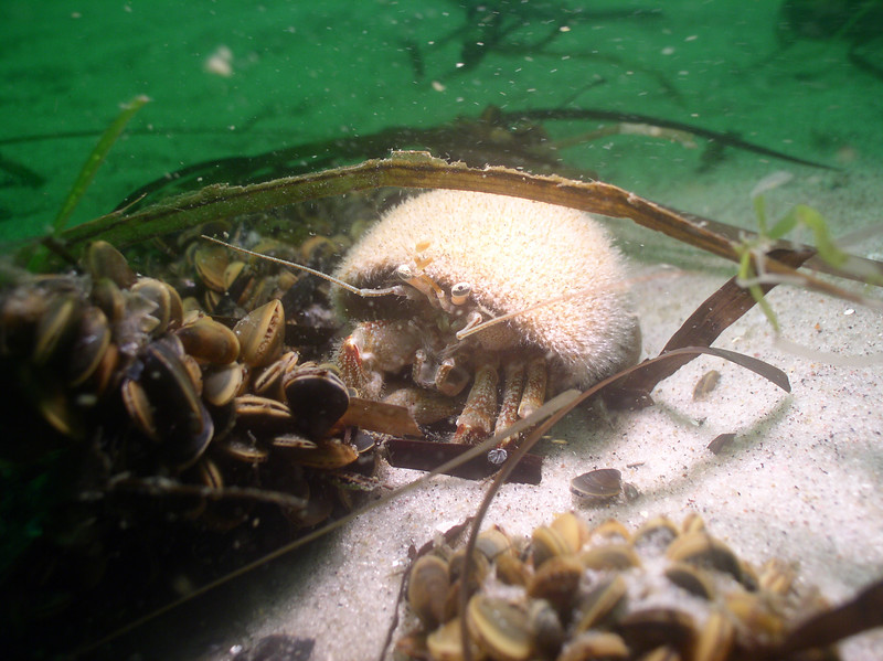 Acadian Hermit crab<br /> Pagurus acadianus<br /> <br /> This shell, first occupied by a moon snail, is now a home for two other animals.  It protects the soft, reduced abdomen of the hermit crab and provides a hard surface for  pink snail fur (a species of hydroid) to attach.  In this mutualistic relationship, the pink snail fur helps to camouflage the shell, while the crab provides mobility for the sessile hydroids.