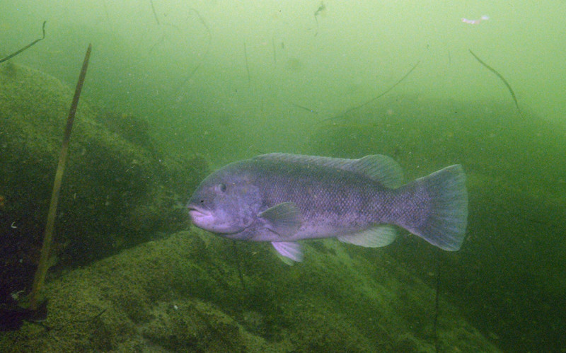 Tautog, commonly known as Blackfish<br /> Tautoga onitis<br /> <br /> The larger males are strongly territorial and with lighter coloration.  This coastal fish inhabits rocky areas, wrecks, and pilings where its favorite foods, such as mussels and crabs, thrive.