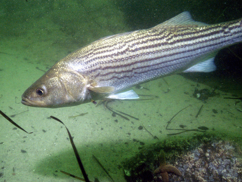 Stripers, like salmon, are anadromous fish that migrate from fresh water where they were born, to salt water for growth, and back to fresh where they spawn the next generation.