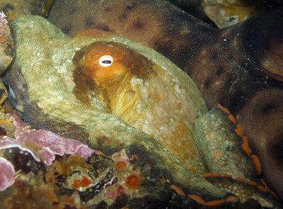 Octopus resting up against a Swellshark on Naples Reef