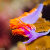 Flabellina iodinea (Spanish shawl) nudibranch