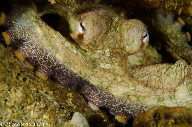 Octopus bimaculoides (two spotted octopus)