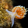 Hermissenda crassicornis nudibranch