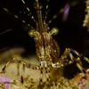 Pandalus danae (coonstripe shrimp)