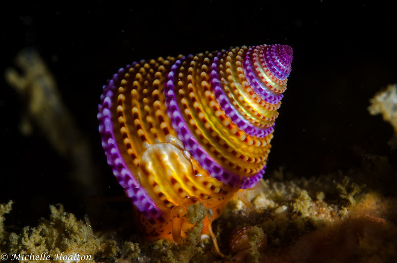 Calliostoma annulatum (purple ringed top snail)