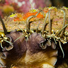 Haliotis fulgens (green abalone) eating