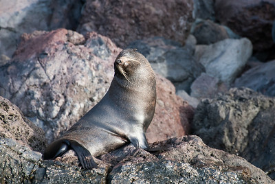 Guadalupe Fur Seal  Sealers reduced the population to just a few dozen by the late 19th century, but the species had recovered to 10,000 in number by the late 1990s.  Isla Guadalupe, Mexico