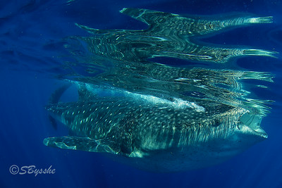 Whale Shark Reflection