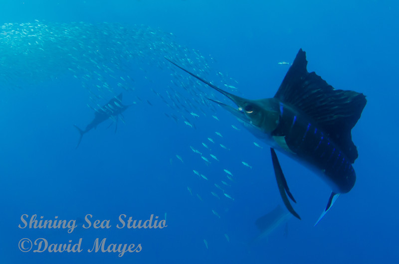 Sailfish with lunch in his jaws