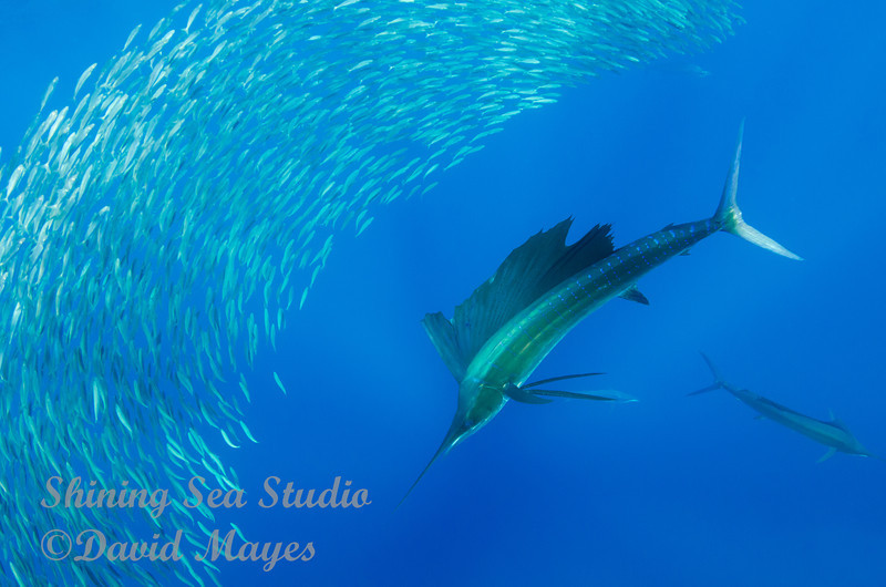 Sailfish checking out dinner