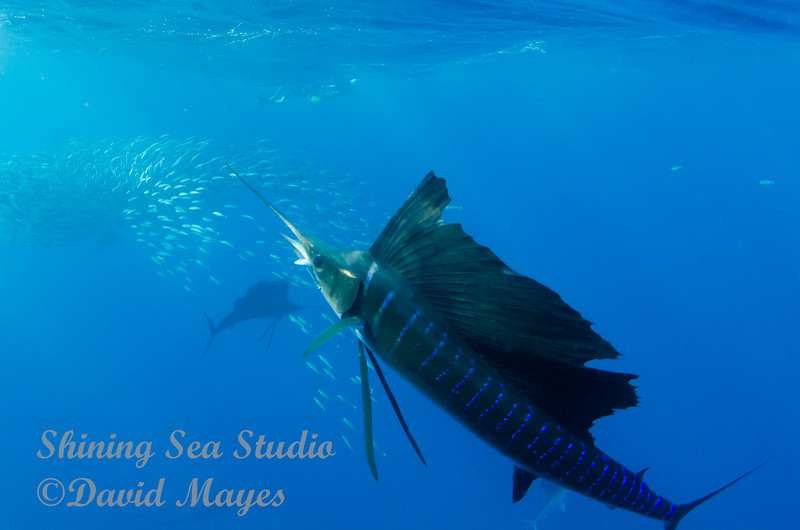 Sailfish with Lunch in its Jaws