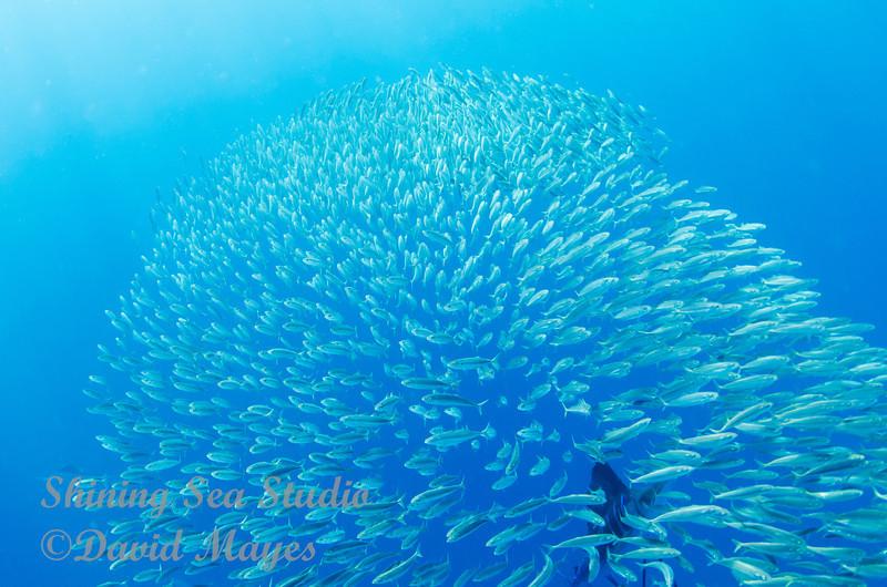 Sailfish Attacking the baitball