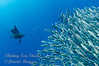Sailfish Lining up for a strike