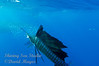 Sailfish with its Lundh