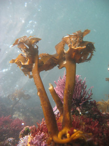 Adam James Large stalks of Kelp Goldfish Bowl, Anacapa April 15th Canon A540