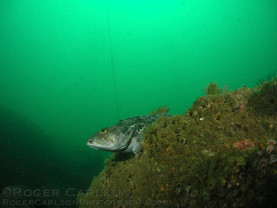 Roger Carlson Lingcod Point Vicente, Palos Verdes April 28th oly 5050, dual strobes
