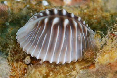 Scott Gietler Trivia solandri (a snail) Ship Rock, May 6th, Catalina 50ft Nikon D80, 60mm lens, dual YS-90DX