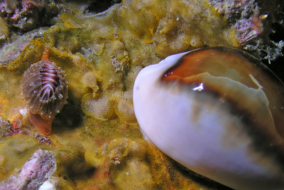 Debbie Karimoto Trivia californiana & Chestnut Cowrie (Cypraea spadicea) Farnsworth Banks April 21, '07 Olympus 5050 and Inon D180 Strobe My first Trivia!! I thought it was a brown cup coral and got very excited when I realized it was a Trivia sp!