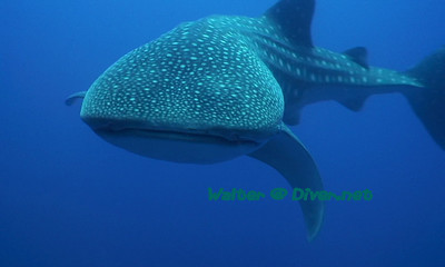 Walter Marti Whale Shark Tubataha Reef, Philippines, April 2007 Still from my Video 110' depth, beginning of the dive