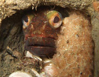 Penelope Foo Sarcastic Fringehead guarding its eggs La Jolla Shores, North Wall, May 12th Fuji F10